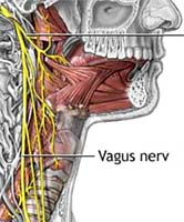 Atlas vagus nerve